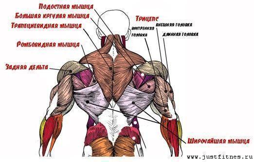 Анатомия мышц спины человека в картинках